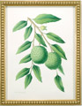 Watercolor of lychees on branch